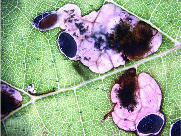 Antispila oinophylla numa folha de videira (Foto: BBC)