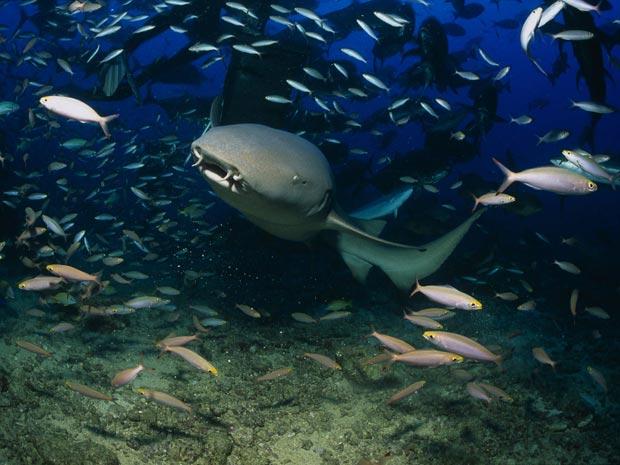 Para mergulhador, tubarões são 'dóceis companheiros de trabalho'
