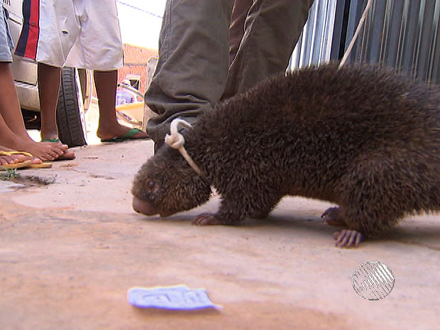 Porco-espinho  (Foto: Reprodução/TV Bahia)