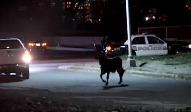 boi fugiu na terça-feira de um matadouro em Paterson. (Foto: Reprodução/NBC)