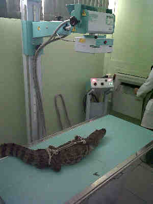 fa653cfc2da Jacaré recebe tratamento em aquário de Peruíbe (Foto  Divulgação Aquário de  Peruíbe)