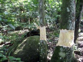 Anelamento de jaqueiras na Ilha Grande (Foto: Divulgação)